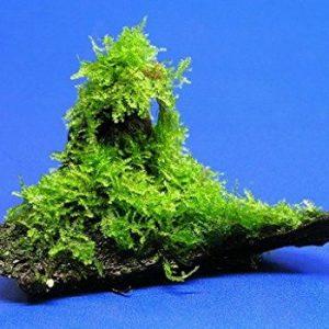 چسباندن خزه به سنگ با چسب مخصوص تراریوم و آکواریوم برای اتصال تکه های کوچک خزه و گیاه بر روی سنگ و چوب در زیر آب اکواریوم و پالوداریوم