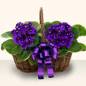 سبد گل طبیعی آپارتمانی بنفشه آفریقایی رنگ بنفش