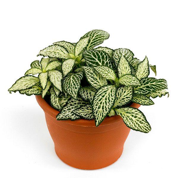 خرید گیاه فیتونیا مینیاتوری با برگ سبز رنگ برای ساخت تراریوم فیتونیا زیبا