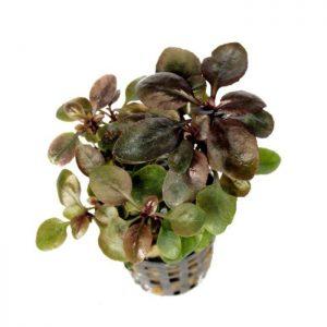 گیاه آکواریومی تراریومی لوبلیا کاردینالیس یا پامچال زیبا در آکواریوم پلنت و تراریوم سبک وابی کوزا