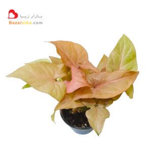 سینگونیوم صورتی و قرمز مینیاتوری خرید اینترنتی گیاه آپارتمانی برگ پهن زیبا و خوش رنگ