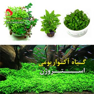 گیاه آکواریومی استروژن مناسب مقاوم در آکواریوم پلنت وابی کوزا ایواگومی و تراریوم