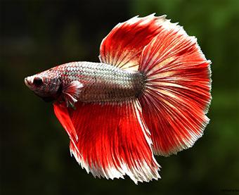 ماهی فایتر زیبا