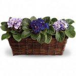 c00f2c4a9963dc72e9990c6e0f73669b–african-violet-potted-plants