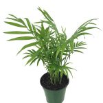 chamaedorea-elegans-plant