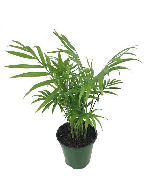 خرید گیاه آپارتمانی شامادورا در گلدان کوچک