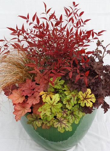 گلدان آرایی با گل های زیبا و برگ رنگارنگ گیاه هوچرا زاج یا زنگ مرجان