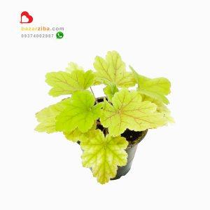 خرید گل هوچرا زاج سرخ بر گیاهی با برگهای زیبا و مقاوم به سرما در تنوع رنگارنگ heuchera electra red lighting