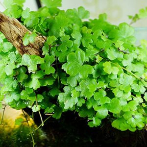 هیدروکوتیل گیاه آکواریومی تراریومی