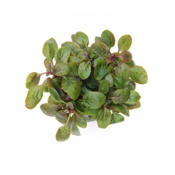 گیاه آکواریومی لوبلیا کاردینالیس یا پامچال زیبا در آکواریوم پلنت و تراریوم وابی کوزا