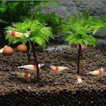 rose-moss-Shrimp