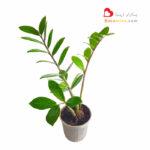zamiifolia-plant